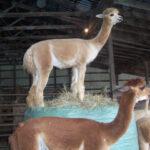Alp[acas love Big Bale Buddy from Bitless Equestrian