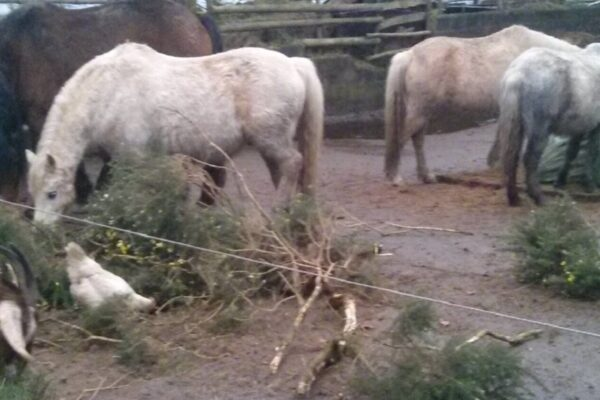 livery horses and goats enjoying a treat of gorse